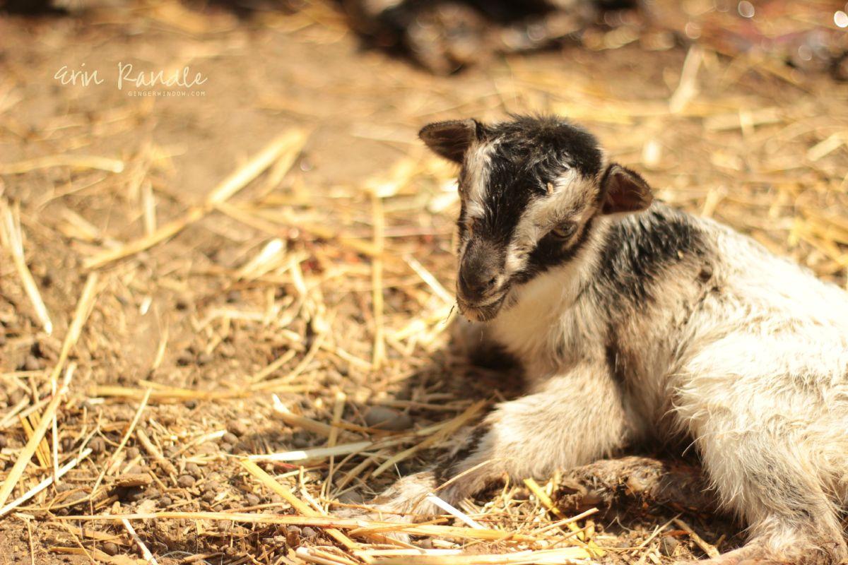 Livestock Birth Photography || Through the Ginger Window