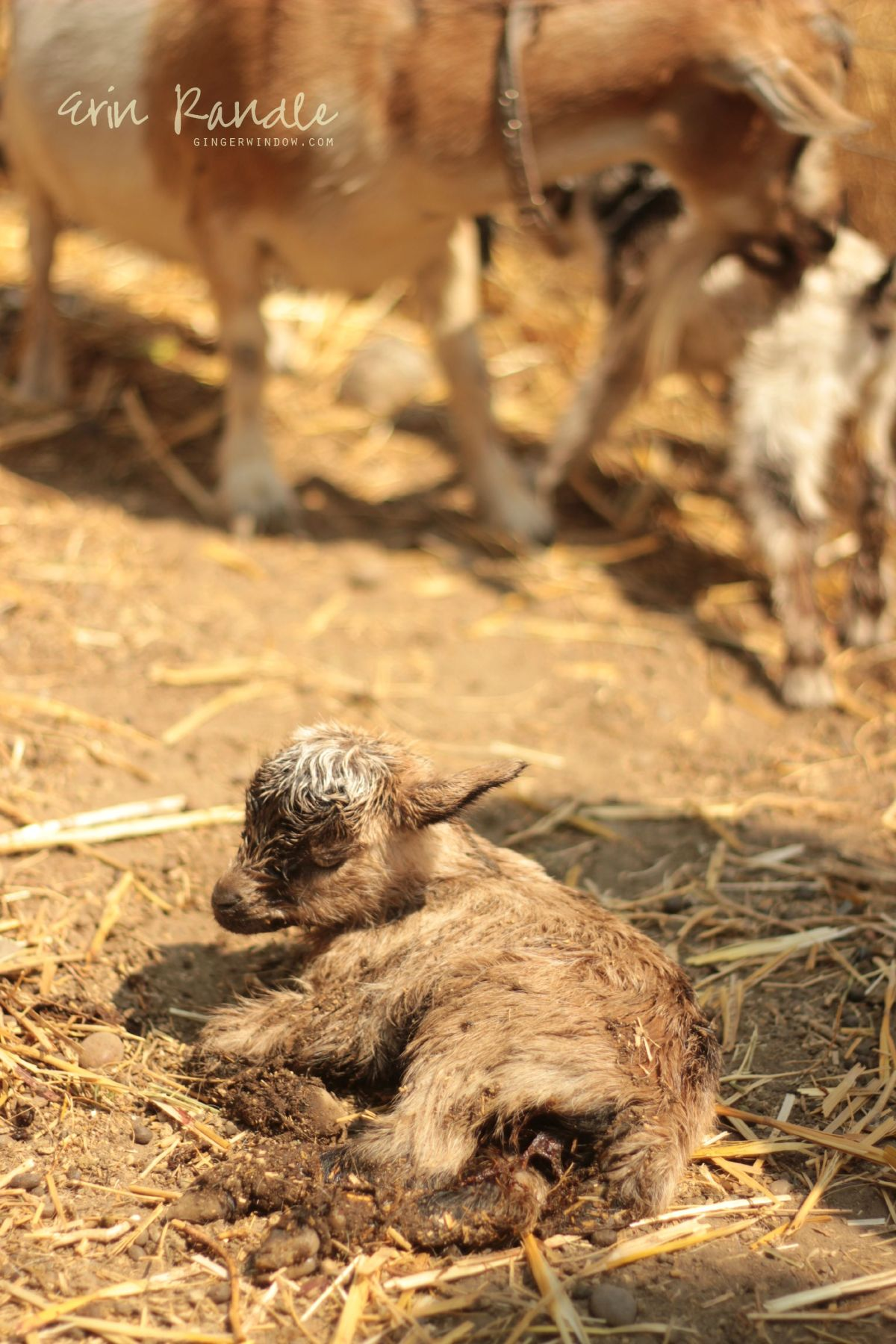 Livestock Birth Photography || Through the Ginger Window